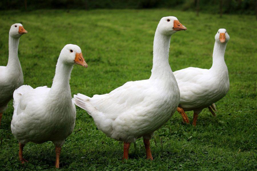 geese-geb12fe3be_1920
